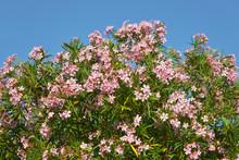 Pink Oleander Flowers (Nerium ...