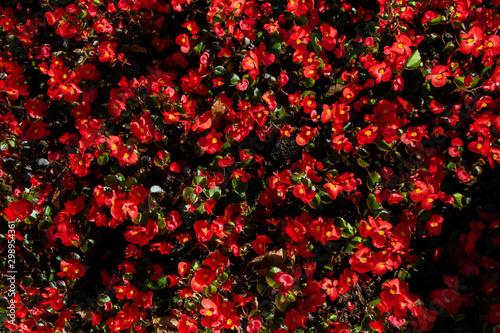 Blooming begonia red flowers in the flowerbed - 298954361