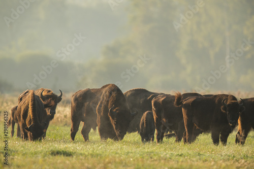 Foto op Canvas Buffel European bison - Bison bonasus in the Knyszyn Forest (Poland)
