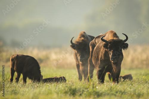 Foto auf AluDibond Buffel European bison - Bison bonasus in the Knyszyn Forest (Poland)