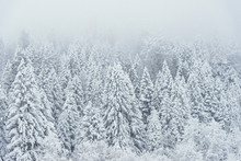 Landscape View Of Snowy Hills With Pine Trees.