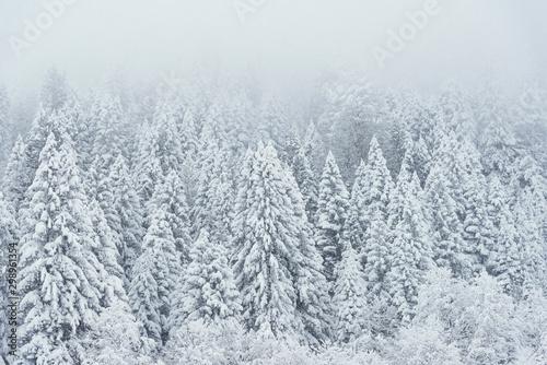 Obraz Landscape view of snowy hills with pine trees. - fototapety do salonu