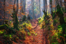 Old Beech Forest