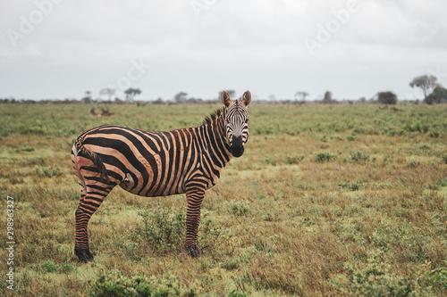 Beautiful view of a lone zebra standing on savannah. Cloudy day. Tsavo East National Park, Kenya