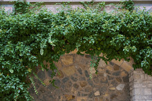 Castle Wall Is Made Of Rough Masonry Twined With Green Liana. Woody Climbing Plant.