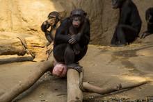 Bonobo Weibchen