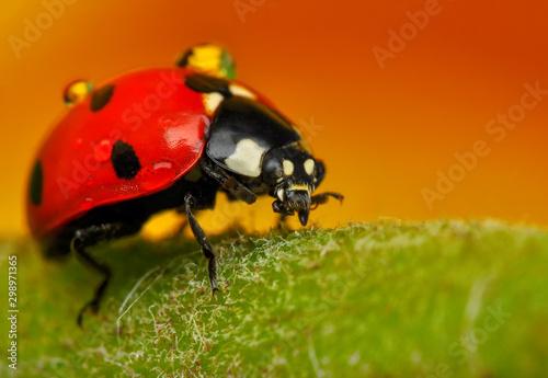 Beautiful ladybug and spiders on leaf defocused background