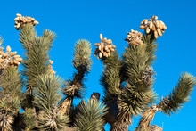 Closeup Of A Joshua Tree Showi...