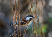 A Chestnut Backed Chickadee In The Oregon Grasslands