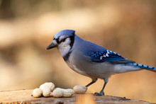 Blue Jay With Peanuts