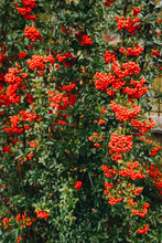 Red Clusters Of Juicy Pyracantha Plant Berries. Pyracantha Coccinea. Evergreen Dense Shrub In Autumn