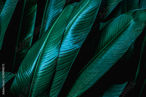 Papier Peint - green leaf texture, dark green foliage nature background, tropical leaf