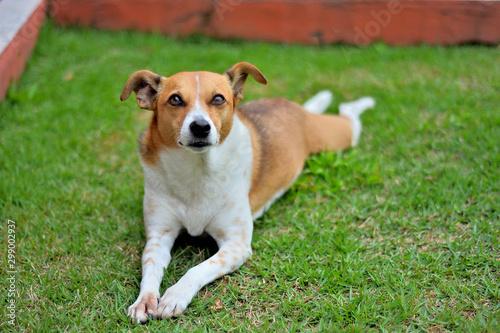 Fotomural  Cachorro de mirada tierna deitado num jardim de grama verde