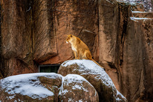 A Female Lion Perched And Sitt...