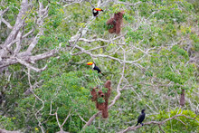 Two Toco Toucans And One Cormo...