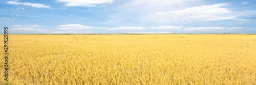 Rice fields and blue sky. Beautiful landscape, Panorama.