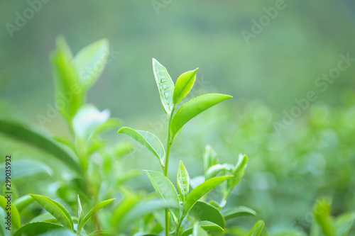 Obraz Fresh tea  leaves. - fototapety do salonu