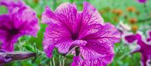 Flowers Petunia In A Flowerbed...