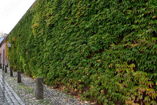 Keuken foto achterwand Spoorlijn Wand mit Wilde Wein Veitchii in Krefeld Oppum