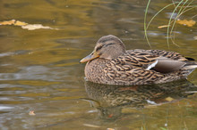 Closeup Of Mallard Duck Which Is Sleeping In The Water.