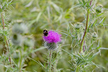 A Bumble Bee On A Thistle