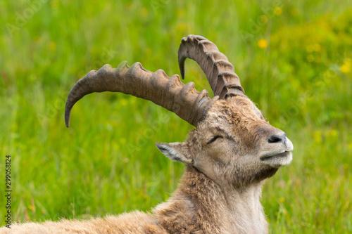 closeup relaxed male alpine capra ibex capricorn in green meadow Fototapet