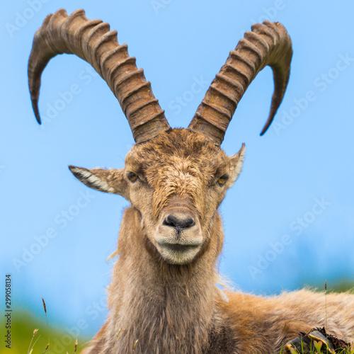 Tablou Canvas close-up male alpine capra ibex capricorn sitting in meadow