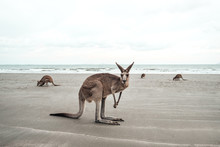 Kangaroo Looks At You At The Beach