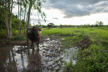 Water Buffalo In The Isan Thailand