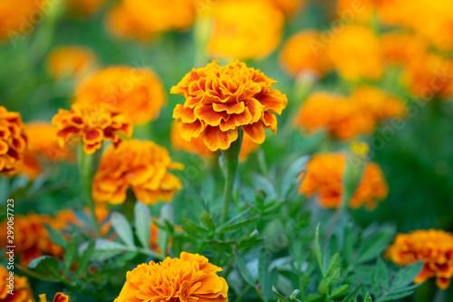 Fotografía Orange Marigold flowers or Tagetes erecta in the garden