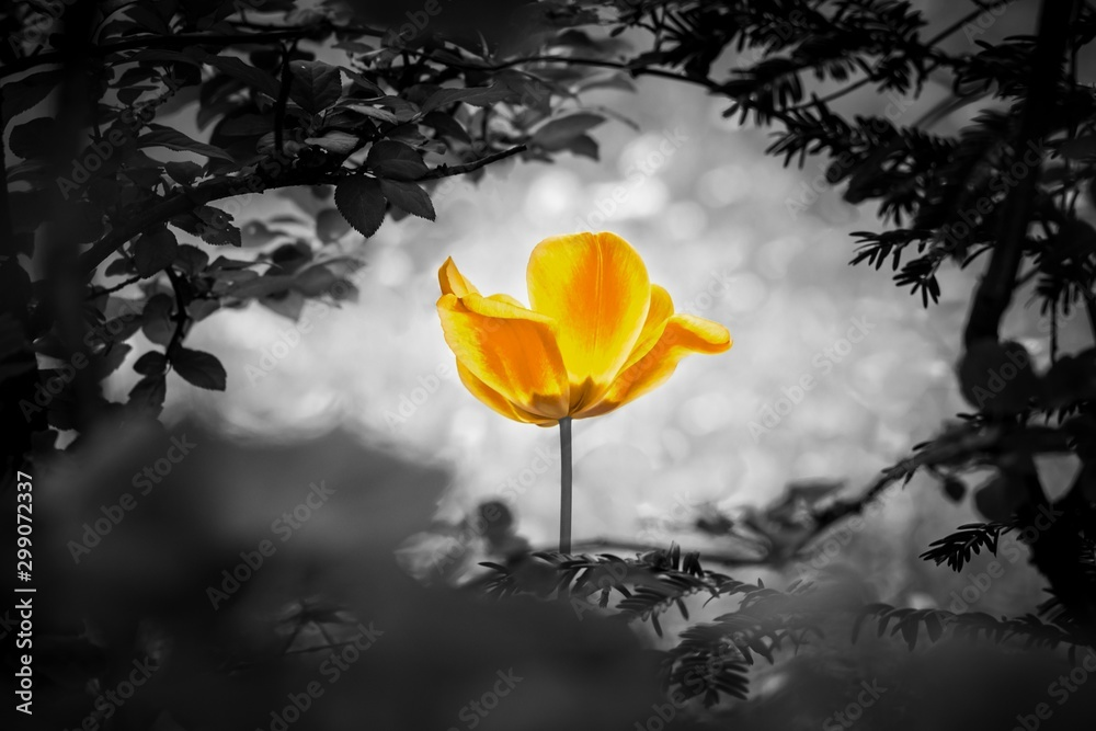 Fototapeta Yellow tulip soul in black white for peace heal hope. The flower is symbol for power of life and mind strength beyond grief death and sorrows. Also symbolizes healing of stress or burnout