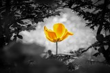 Fototapeta Tulipany - Yellow tulip soul in black white for peace heal hope. The flower is symbol for power of life and mind strength beyond grief death and sorrows. Also symbolizes healing of stress or burnout