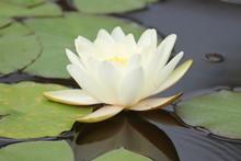 White Water Lily In Garden