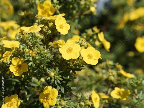 Fototapeta Potentilla fruticosa | Fleurs jaunes or de potentille arbustive