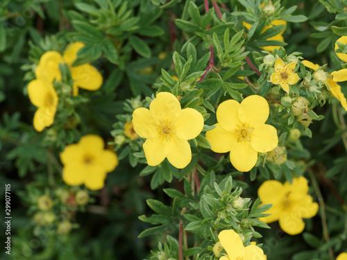 (Dasiphora fruticosa)  Gros plan sur fleurs jaune or et lumineuse de potentille Fototapet