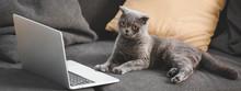 Gray Scottish Fold Cat Lying On Sofa With Laptop