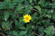 Solitary Beautiful Yellow Flower On The Green Plant In The Garden, Spring Or Summer Concept. Top View.