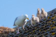 Herring Gull Feeding Chicks On A Roof