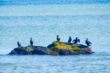 Cormorant And Shags On A Rock In The Ocean