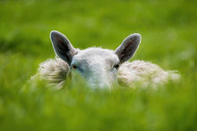 Sheep Lying In Grass