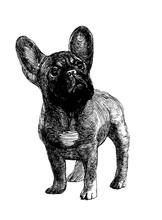 Cute French Bulldog, Ink Drawi...
