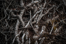Intertwinedroots Of A Tree In A Dark Forest. Selective Focus. Dark Mystery Magical Background