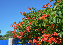 Trumpet Vine Flowers On House Fence. Campsis Radicans, Trumpet Vine Or Trumpet Creeper, Also Known As Cow Itch Vine Or Hummingbird Vine