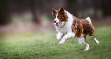 Adult Brown White Border Collie Run Very Fast In Training Day. Happy Dog Jump Side View.