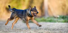 Dog Run Toward To Camera Side ...