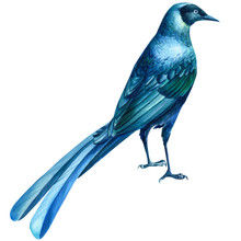 Blue Tropical Bird On An Isolated White Background, Watercolor Illustration.  Rueppell's Glossy Starling