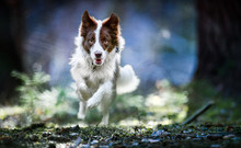 Beautiful Dog Border Collie Ju...