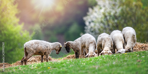 Deurstickers Schapen Sheeps group and lambs on a meadow with green grass. Flock of sheep in sun rays spring background.