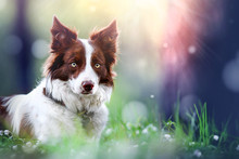 Border Collie Dog Head Detail In Amazing Magic Forest. Beautiful Brown White Dogs Looking Portrait.