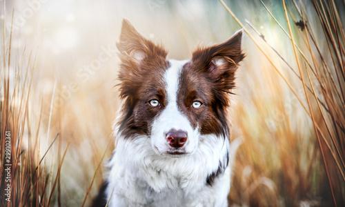 Obraz na plátně Border collie head detail and sunny background